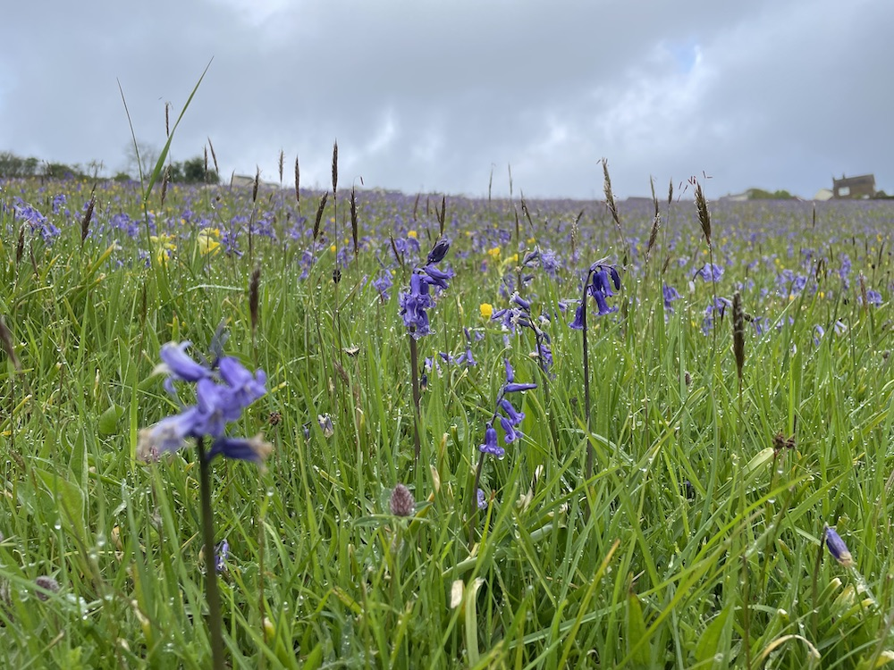 Close up of bluebells in a field. The sky is cloudy and the whole field looks blue because there are so many bluebells.